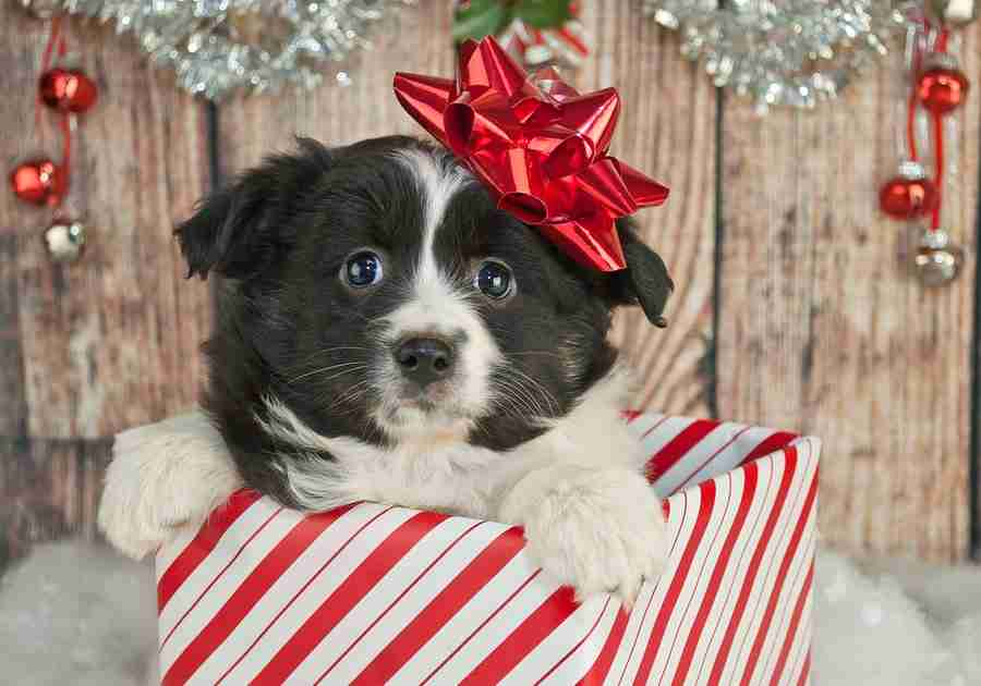 Is It So Wrong to Want a Dog for Christmas?